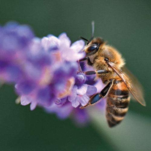 Übernehme eine Patenschaft für eine Wildbiene