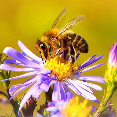 Wildbiene bestäubt Blume